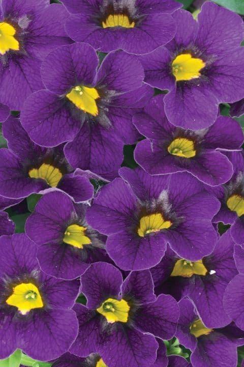 WFL® Calibrachoa Calitastic Dark Violet